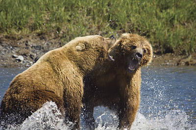 Two Brown Bears Fight Over Salmon At Art Print