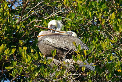 Photograph - Two Brown Pelicans by Denise Mazzocco