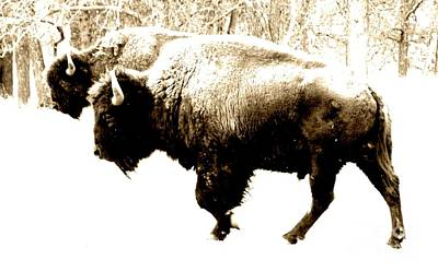 Photograph - Two Buffalo by Barbara Henry