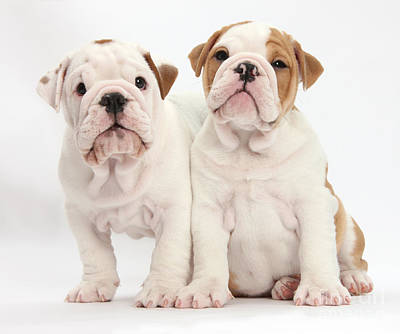 Bulldog Puppies Photograph - Two Bulldog Puppies by Mark Taylor