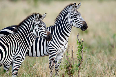 Herbivorous Photograph - Two Burchells Zebras Equus Burchelli by Panoramic Images