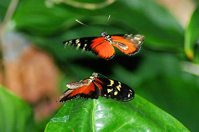 Two Butterflies  Art Print by Jeff Swan