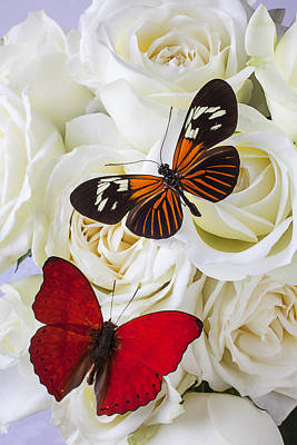 Two Butterflies On White Roses Art Print by Garry Gay