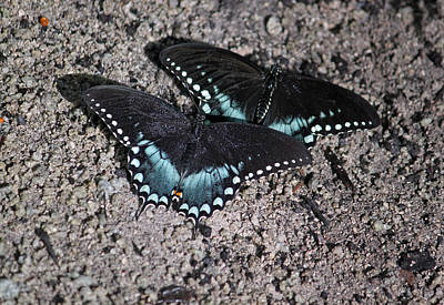 Blue Swallowtail Photograph - Two By Two by Suzanne Gaff