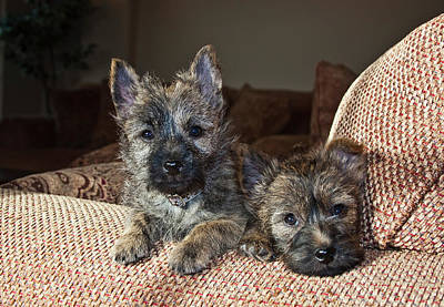 Two Cairn Terrier Puppies Lying Art Print by Zandria Muench Beraldo