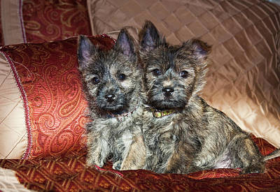 Two Cairn Terrier Puppies Sitting Art Print by Zandria Muench Beraldo