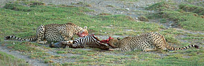 Two Cheetahs Acinonyx Jubatus Eating Art Print by Panoramic Images