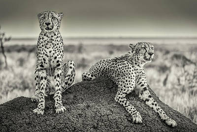 Two Cheetahs Watching Out Art Print