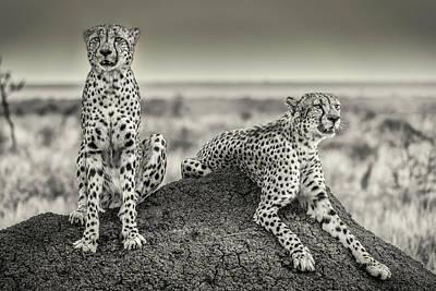 Cheetah Photograph - Two Cheetahs Watching Out by Henrike Scheid