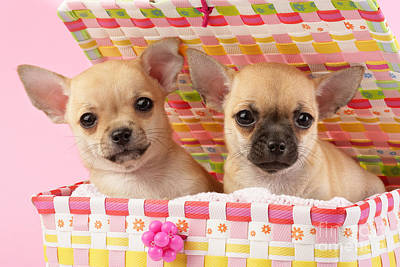 Puppy Digital Art - Two Chihuahuas by Greg Cuddiford