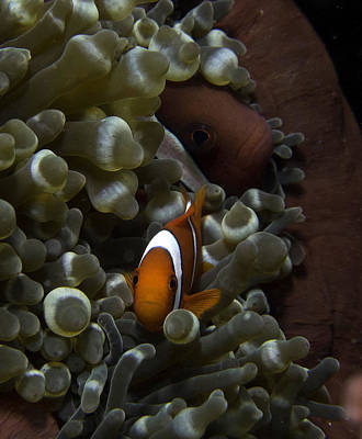 Clarks Anemonefish Photograph - Two Clark's Anemone Fish Peeking Out From Their Anemone Home. by Gary Hughes
