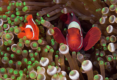 Clownfish Photograph - Two Clownfish (amphiprion Ocellaris by Jaynes Gallery