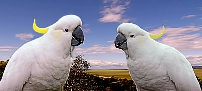 Photograph - Two Cockatoos by David Rich