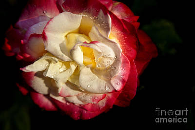 Iphone Photograph - Two Color Rose by David Millenheft