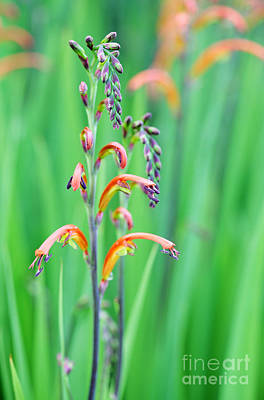 Cape Lily Photograph - Two-colour Cobra Lily by Neil Overy