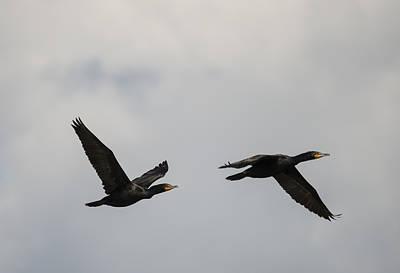 Phalacrocorax Auritus Photograph - Two Cormorants In Flight by Loree Johnson