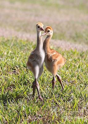 Photograph - Two Cuties - Sandhill Crane Chicks by Carol Groenen