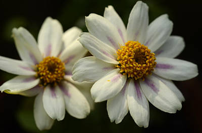 Photograph - Two Daisies by Ann Bridges