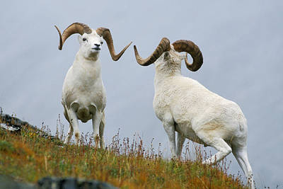 Butting Heads Photograph - Two Dall Sheep Rams Preparing To Butt by Milo Burcham