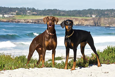 Two Doberman Pinschers At Carmel Beach Art Print by Zandria Muench Beraldo