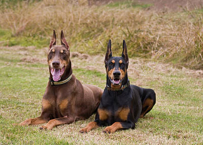 Two Doberman Pinschers Lying Side Art Print by Zandria Muench Beraldo
