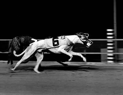 Greyhound Photograph - Two Dogs Running Tight by Retro Images Archive