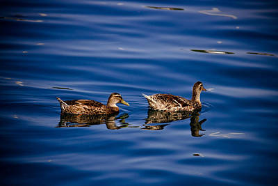 Photograph - Two Ducks Floating On Blue Water Surface by Brch Photography