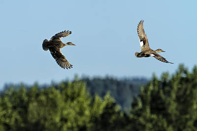 Photograph - Two Ducks Flying by Belinda Greb