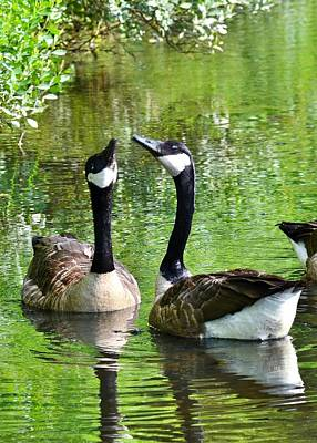 Photograph - Goose Talk by Kim Bemis