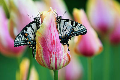 Tiger Swallowtail Photograph - Two Eastern Tiger Swallowtail by Jaynes Gallery