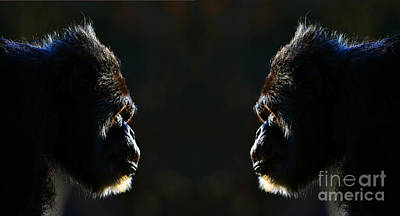 Photograph - Two Elderly Chimps Studying Each Other  by Jim Fitzpatrick
