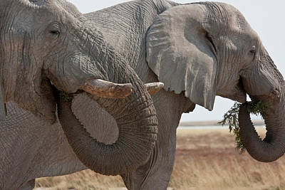 Part Of Photograph - Two Elephants (loxodonta Africana by Jaynes Gallery