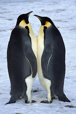 Photograph - Two Emperor Penguins Face To Face by Colin Monteath