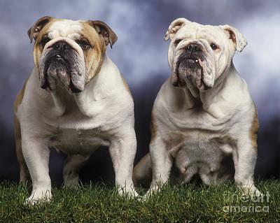 Two English Bulldogs Art Print by Jean-Michel Labat