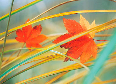 Colors Of Nature Photograph - Two Fall Orange Fall Leaves Amid Yellow by Panoramic Images