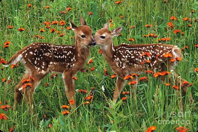 Photograph - Two Fawns Talking by Chris Scroggins