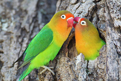 Lovebird Photograph - Two Fischer's Lovebirds (agapornis by James Heupel