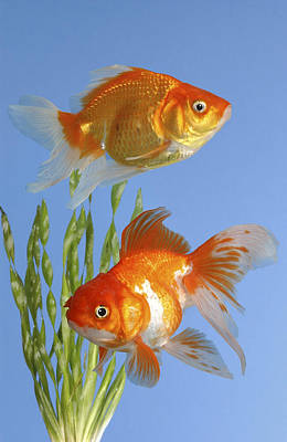 Two Fish Fs101 Art Print