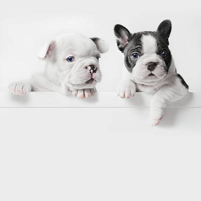 Dog Photograph - Two French Bulldog Puppies Peer Over A by Andrew Bret Wallis