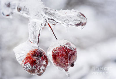 Winter Storm Photograph - Two Frozen Crab Apples  by Elena Elisseeva
