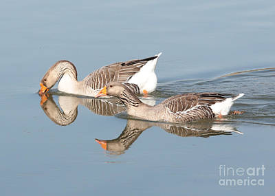 Two Geese Reflecting On Water Art Print by Carol Groenen