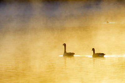 Two Geese Art Print by Tommytechno Sweden