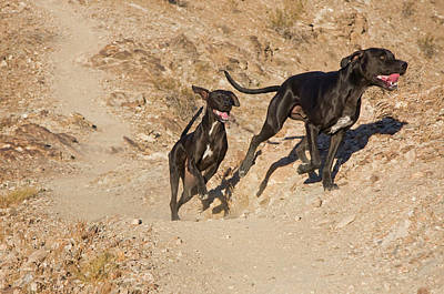 Two Tailed Photograph - Two German Shorthaired Pointers Running by Zandria Muench Beraldo