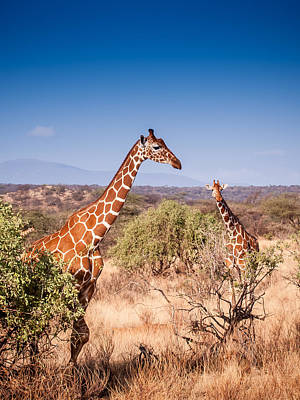 Photograph - Two Giraffes by Jim DeLillo