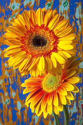 Gerbera Daisy Photograph - Two Golden Mums by Garry Gay