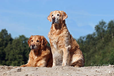 Photograph - Two Golden Retriever Dogs In Sand by Dog Photos