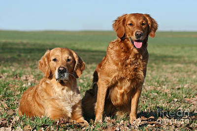 Photograph - Two Golden Retriever Dogs Outdoors by Dog Photos