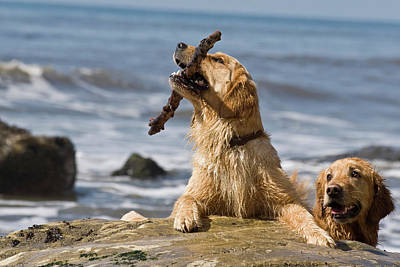Two Tailed Photograph - Two Golden Retrievers Playing by Zandria Muench Beraldo