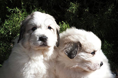 Two Tailed Photograph - Two Great Pyrenees Puppies Sitting by Zandria Muench Beraldo