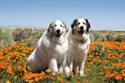 Two Great Pyrenees Sitting Together Art Print by Zandria Muench Beraldo